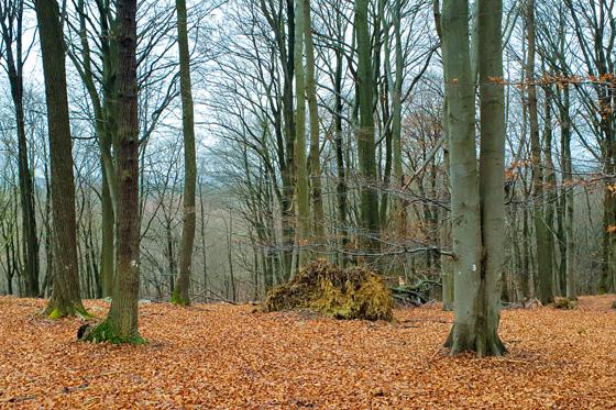La forêt de hêtres du nord de l'Eifel près de Raffelsbrand