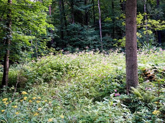 Bild Springkraut Sternroute Mulartshütte-Roetgen